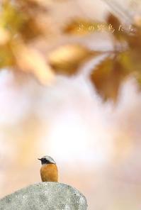 ジョウビタキ - 北の野鳥たち