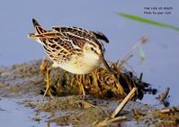 キリアイの名前の由来は、嘴の先端が錐状だから - THE LIFE OF BIRDS ー 野鳥つれづれ記