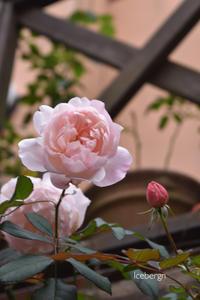 色濃く美しいね秋薔薇♡ - 小さな庭 2