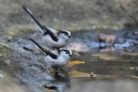 エナガの水浴びキビタキ - 鳥さんと遊ぼう