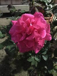 薔薇リーナ - 今日もひとつだけ