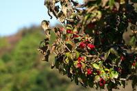 秋ときめいてサンシュユ(山茱萸)他 - 身近な自然を撮る