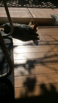 日向ぼっこが好き - ヨーキー はちのお留守番とママの香港生活