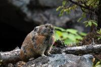 生きた化石「ナキウサギ」 - 比企丘陵の自然