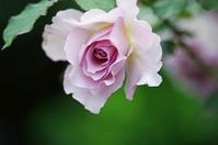 横浜イングリッシュガーデン薔薇1 - 生きる。撮る。