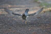 餌が下に落ちてます - 私の鳥撮り散歩