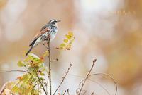 ツグミ - 北の野鳥たち