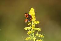 蝶々撮りました。 - 写真で楽しんでます!