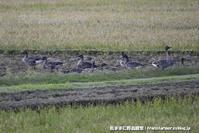 天然記念物オオヒシクイ - 気ままに野鳥観察