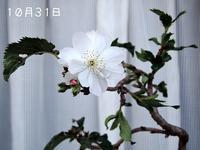 今日の桜さん - サモエド クローカのお気楽日記