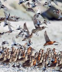 鳥 回想㉘)荒尾干潟の野鳥=熊本県荒尾市など - チャレンジ! 日々の散歩道