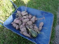 南国畑のさつま芋掘り・・・へとへとバタンキュー - 化学物質過敏症・風のたより2