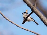 枝先に憩うコガラ - コーヒー党の野鳥と自然 パート2