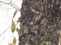 秋の戸隠のゴジュウカラ - コーヒー党の野鳥と自然 パート2