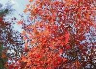 椛が色付き始めました  楊谷寺にて - 写真を主とした日記です