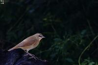 渡りの途中のノゴマ - 野鳥公園