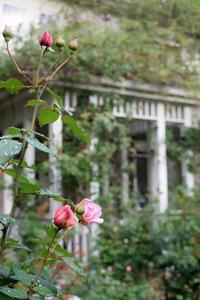 庭の秋薔薇(2018) - 元木はるみのバラとハーブのある暮らし・Salon de Roses