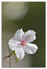 冬桜 - toru photo box