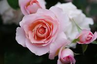 横浜イングリッシュガーデン薔薇2 - 生きる。撮る。