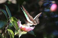 サザンカに集まる蝶たち - 子猫の迷い道Ⅱ