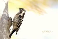 コゲラ - 北の野鳥たち