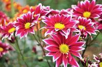 ■Myファームの花便り【咲き始めた菊メインでご紹介です♪】 - 「料理と趣味の部屋」