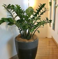 観葉植物の植替え - 緑のしずく (ベランダガーデン便り)