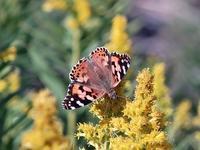 資生堂横の神崎川で蝶々撮影。 - 写真で楽しんでます!
