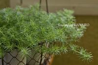 寄せ植えの名わき役♪愛すべきグリーン達。 - 花色~あなたの好きなお花屋さんになりたい~