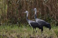 ナベヅルのペア - 野鳥フレンド  撮り日記