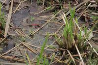 ■産卵するアキアカネ18.11.7 - 舞岡公園の自然2
