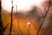 立冬桜 - となりのフォトロ