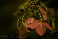 冬紫陽花 - となりのフォトロ
