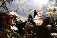 アサギマダラマーキング個体の飛翔Byヒナ - 仲良し夫婦DE生き物ブログ