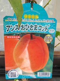 あんずおひさまコットの鉢栽培2018 - にゃんてワンダホー!