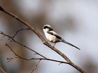 エナガも元気な森林植物園 - コーヒー党の野鳥と自然 パート2