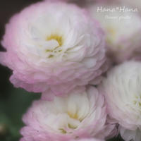 *小菊* - HANA*HANA
