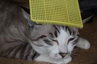 ブラッシング - ぎんネコ☆はうす