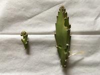 ピタヤの新芽が喰われている‼︎ - いととはり