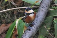 湖畔の森のウソ/長都沼の雁 - 今日の鳥さんⅡ