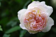 横浜イングリッシュガーデン薔薇3 - 生きる。撮る。