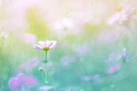 秋桜 - ゆずぽん日和