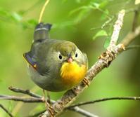 ソウシチョウ特集 - zorbaの野鳥写真と日記