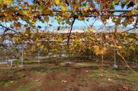 土作り終了 黄葉と紅葉 - ~葡萄と田舎時間~ 西田葡萄園のブログ