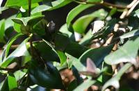 ムラサキツバメシジミ11月8日 - 超蝶