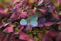秋枯れ紫陽花* - FUNKY'S BLUE SKY