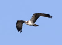 今日はミサゴ狙いで!何年ぶりだろうミサゴを狙うのは、風も強く1時間待っても出ないしカメラマンも少ない、2時間待って出なければ帰ろうと思っていたら! - 鳥撮り日誌