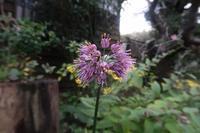 ■秋の花 3種18.11.8(ヤマラッキョウ、リュウノウギク、ヤツデ) - 舞岡公園の自然2