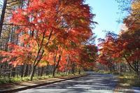 八ヶ岳倶楽部前街路樹の紅葉 - 暮らしを紡ぐ