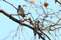 ヒレンジャク - 今日の鳥さんⅡ